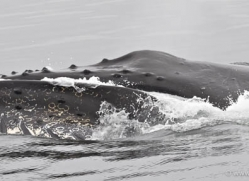 humpback-whales-inside-passage-alasaka-4741-copyright-photographers-on-safari