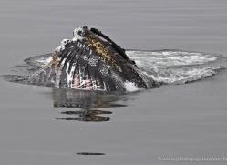 humpback-whales-inside-passage-alasaka-4744-copyright-photographers-on-safari