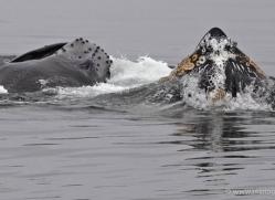 humpback-whales-inside-passage-alasaka-4745-copyright-photographers-on-safari