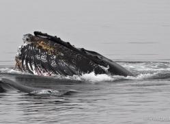 humpback-whales-inside-passage-alasaka-4747-copyright-photographers-on-safari
