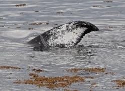 humpback-whales-inside-passage-alasaka-4749-copyright-photographers-on-safari