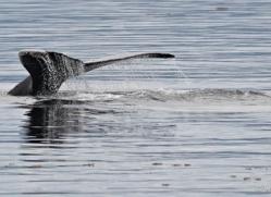 humpback-whales-inside-passage-alasaka-4757-copyright-photographers-on-safari