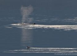 humpback-whales-inside-passage-alasaka-4761-copyright-photographers-on-safari