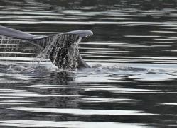 humpback-whales-inside-passage-alasaka-4762-copyright-photographers-on-safari