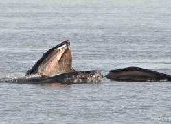 humpback-whales-inside-passage-alasaka-4764-copyright-photographers-on-safari