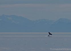 humpback-whales-inside-passage-alasaka-4770-copyright-photographers-on-safari
