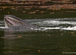 humpback-whales-inside-passage-alasaka-4774-copyright-photographers-on-safari
