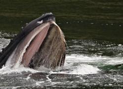 humpback-whales-inside-passage-alasaka-4776-copyright-photographers-on-safari