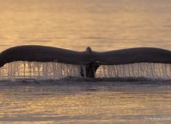 humpback-whales-inside-passage-alasaka-4783-copyright-photographers-on-safari