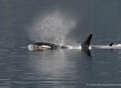 orca-killer-whale-alasaka-4615-copyright-photographers-on-safari