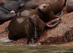 steller-sea-lion-alasaka-4633-copyright-photographers-on-safari