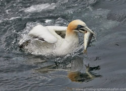 Gannet 2014-16copyright-photographers-on-safari-com