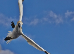 Gannet 2014-26copyright-photographers-on-safari-com