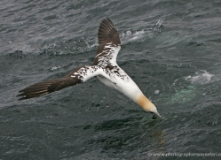 gannet-bass-rock-367-copyright-photographers-on-safari-com