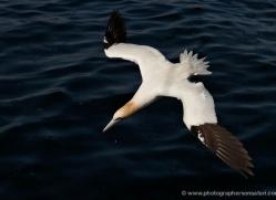 gannet-bass-rock-418-copyright-photographers-on-safari-com