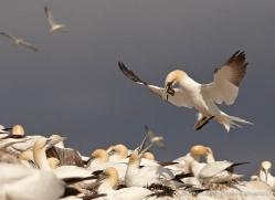 gannet-bass-rock-436-copyright-photographers-on-safari-com