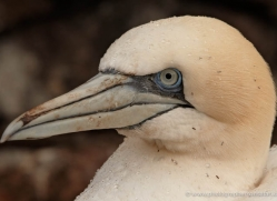 gannet-bass-rock-445-copyright-photographers-on-safari-com