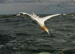 gannet-bass-rock-493-copyright-photographers-on-safari-com