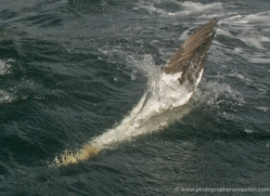 gannet-bass-rock-518-copyright-photographers-on-safari-com