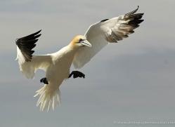 gannet-bass-rock-529-copyright-photographers-on-safari-com