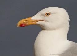 herring-gull-346-copyright-photographers-on-safari-com