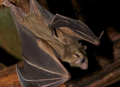 Fruit Bat 2014-2copyright-photographers-on-safari-com