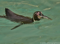Humboldt Penguin 2014-2copyright-photographers-on-safari-com