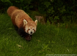 Red Panda 2014-1copyright-photographers-on-safari-com