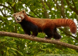 Red Panda 2014-2copyright-photographers-on-safari-com