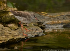 Redshank 2014-1copyright-photographers-on-safari-com