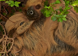 Two Toed Sloth 2014-1copyright-photographers-on-safari-com