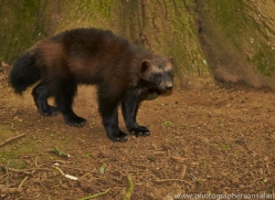 Wolverine 2014-1copyright-photographers-on-safari-com