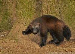 Wolverine 2014-2copyright-photographers-on-safari-com