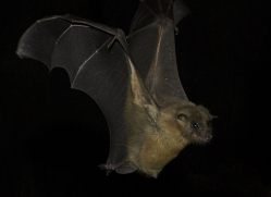 fruit-bat-5520-copyright-photographers-on-safari-com