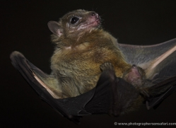 fruit-bat-5524-copyright-photographers-on-safari-com