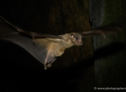 fruit-bat-5531-copyright-photographers-on-safari-com