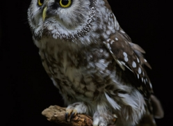 owl-5553-copyright-photographers-on-safari-com