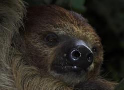 sloth-5539-copyright-photographers-on-safari-com