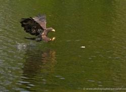 bald-eagle-juvenile-583-bedford-copyright-photographers-on-safari-com