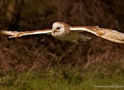 barn-owl-576-bedford-copyright-photographers-on-safari-com