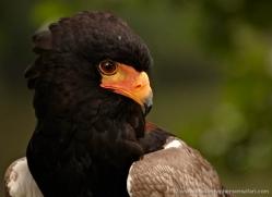 bateleur-eagle-562-bedford-copyright-photographers-on-safari-com