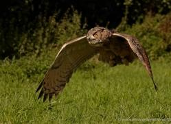 european-eagle-owl-570-bedford-copyright-photographers-on-safari-com