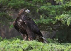 golden-eagle-553-bedford-copyright-photographers-on-safari-com
