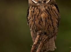 long-eared-owl-548-bedford-copyright-photographers-on-safari-com