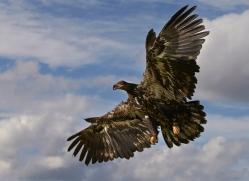 Bald Eagle 2014-1copyright-photographers-on-safari-com