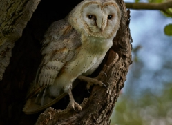Barn Owl Owl 2014-21copyright-photographers-on-safari-com
