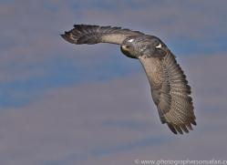 Chilean Blue Eagle 2014-2copyright-photographers-on-safari-com