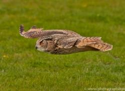 Eagle Owl 2014-14copyright-photographers-on-safari-com