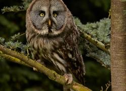 Great Grey Owl 2014-2copyright-photographers-on-safari-com