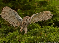 Long Eared Owl 2014-17copyright-photographers-on-safari-com